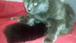 Какие бывают кошки голубой солид порода Мейн кун  Масса 8 2 кг