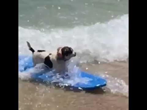 Hawaii dog surfing 1