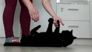 Учу кошку Масяню ходить на поводке.