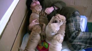 Shar-pei Puppies For Sale 2011