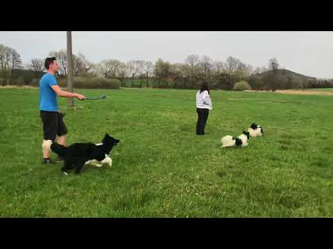 Papillons, border collie, pomeranian walking part 1 from 2