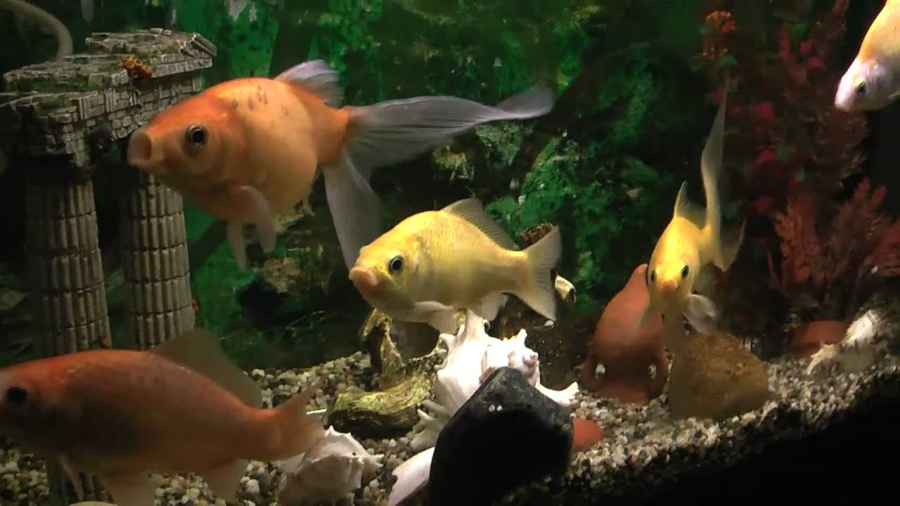 Il mio nuovo acquario 100 litri con pesci rossi 5 anni di for Acquario 100 litri prezzo