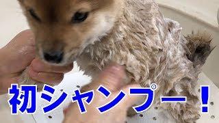 豆柴の仔犬ふくに初めてのシャンプー 7