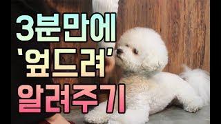 [강아지 훈련] 엎드려 개인기 가르치기 l 펫을부탁해