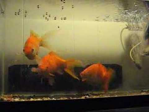 My Massive Feeder Goldfish