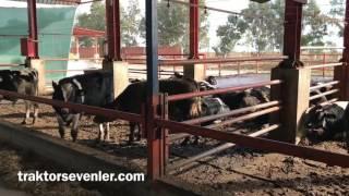 250 Başlık çiftlik sahibi anlatıyor ; Besimi Sütmü ?