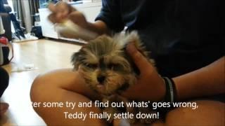 Dog training Singapore - 2.5 months Silky Terrier X Shih Tzu