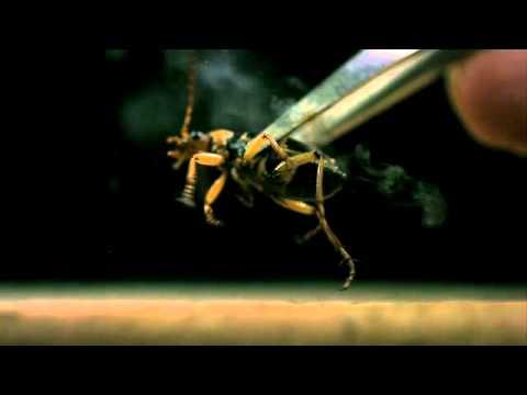 ミイデラゴミムシ、ガス発射 Bombarding beetle splay the gas - YouTube
