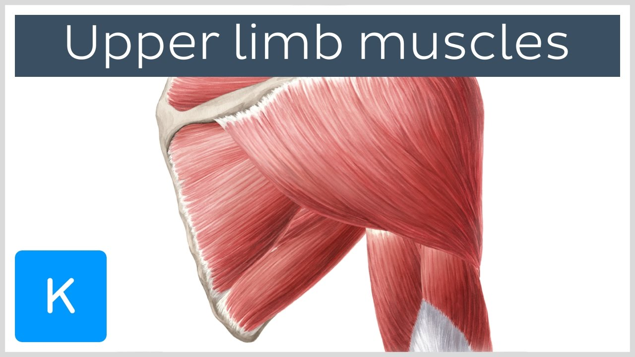 Download Main muscles of the upper limb (preview) - Human Anatomy |Kenhub