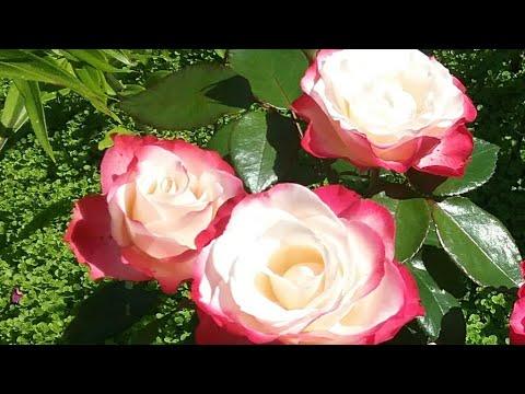 Розы чайно-гибридные, шрабы, плетистые,флорибунда  с названием сортов.Цветение в Подмосковье.