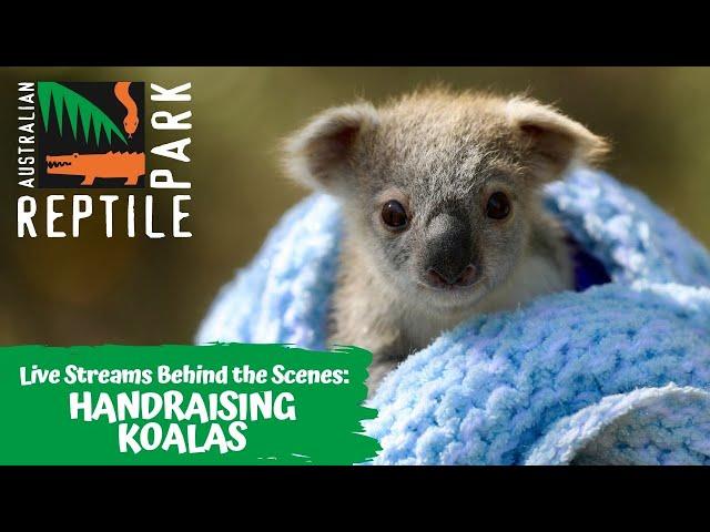 LIVE: RAISING KOALA JOEYS | AUSTRALIAN REPTILE PARK