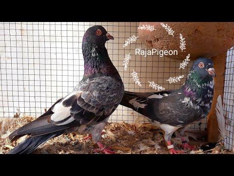 Best Pigeons Breeder For 2017 - Raja Farhan