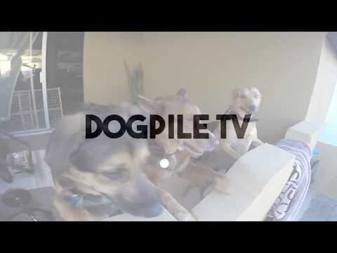 Large Dogs Playing Indoors | Baja Dog Vlog