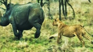 Battle At Kruger - Lions VS Rhino Over a Buffalo - Latest Sightings