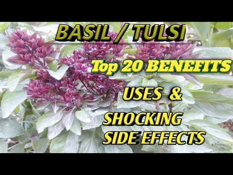 Holy Basil Benefits and Side effects | Holy Basil Benefits | Tulsi Benefits