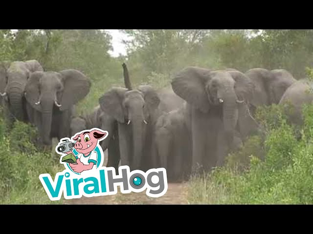 Wild Elephants Protect Young from Wild Dogs || Viralhog