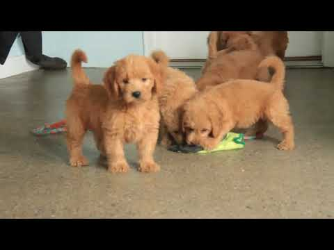 9 Mini Goldendoodle Puppies For Sale Chris and Linda Stoltzfus