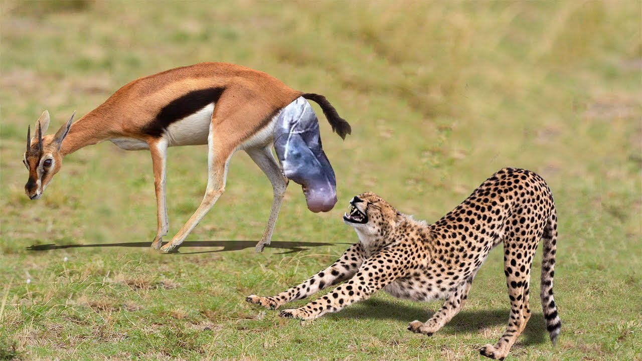 NEWBORN IMPALA LUCKY ESCAPE  FROM FIVE CHEETAH CHASING | Mother Impala Giving Birth