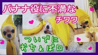 本日ココナッツマフィンはバナナ役で登場です☆  ❤ところで、ふつう犬っ...