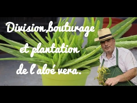 Division bouturage et plantation de l 39 alo vera youtube - Bouture d aloe vera ...