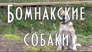 Бомнакские охотничьи собаки.