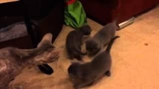 Маленькие русские голубые котята