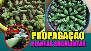 Propagação de Plantas Suculentas Passo a Passo Muito Fácil