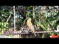 Sogon Gacor Dor Bagus Untuk Masteran Burung  Mp3 - Mp4 Download
