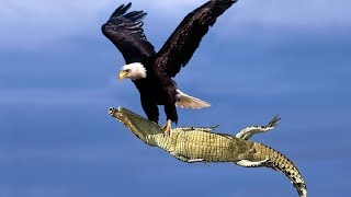 THE BEST HUNTING OF EAGLE   Most Amazing Moments Of Wild Animals