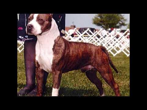 american staffordshire terrier vs - photo #6