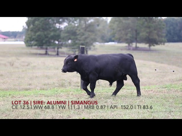 Edgewood Angus Lot 36