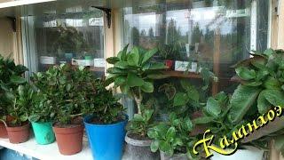 Комнатное растение каланхоэ Блоссфельда в домашних условиях(Каланхоэ очень удобен для выращивания в комнатных условиях. ..., 2014-09-23T15:21:50.000Z)