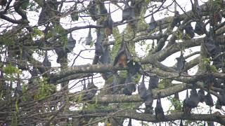 斯里蘭卡 印度狐蝠 (1)