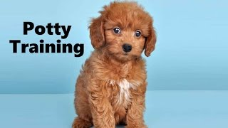 How To Potty Train A Doxiepoo Puppy - Doxiepoo House Training Tips - Housebreaking Doxiepoo Puppies
