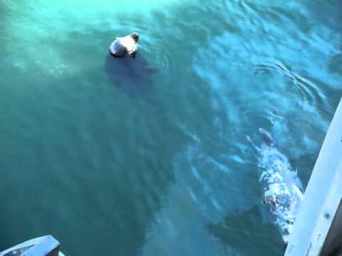 Seals Off Chatham Fish Pier, Chatham Cape Cod MA