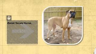 Dog Facts: Baks The Blind Boxer And Buttons | Seeing Eye Goose Befriends Blind Dog