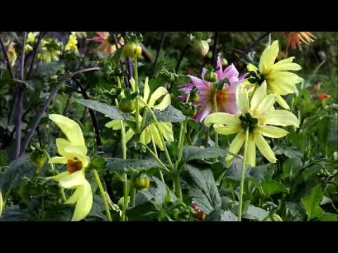 How To Grow Dahlias From Seed Youtube