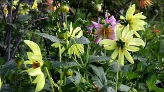 Download Video How to Grow Dahlias from Seed MP3 3GP MP4