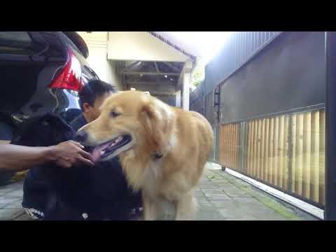 Pawang Kawin Dogy's Bali Dog breeding