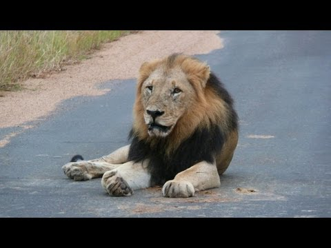 SOUTH AFRICA the big five at Kruger national park (hd-video)