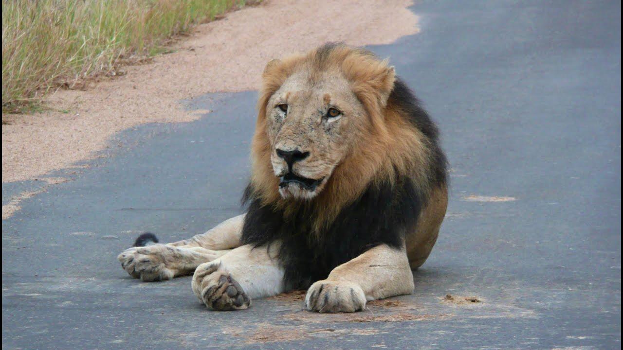 south africa the big five at kruger national park hd video youtube. Black Bedroom Furniture Sets. Home Design Ideas