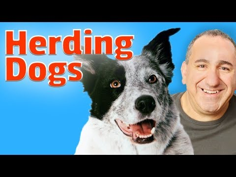 Herding and working dog breeds