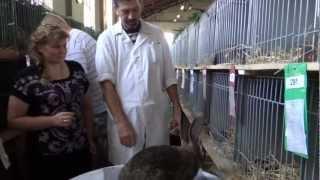 оценка кролика ризен на выставке в европе