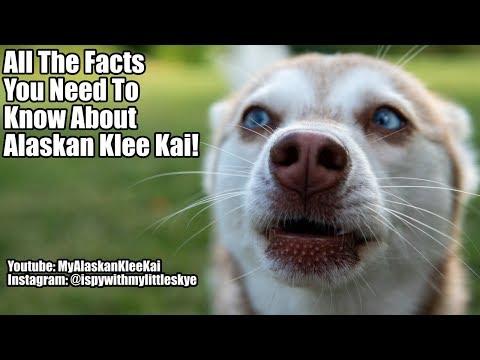 18 Alaskan Klee Kai facts