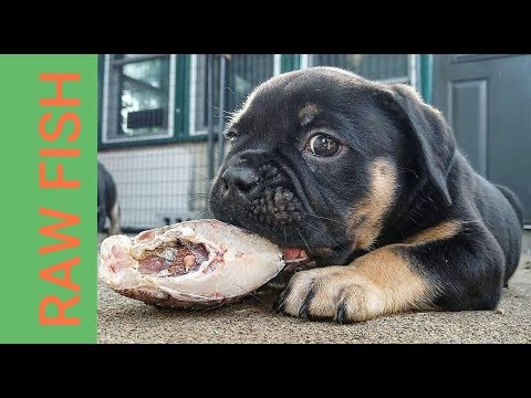 How I Feed RAW Fish To Puppies