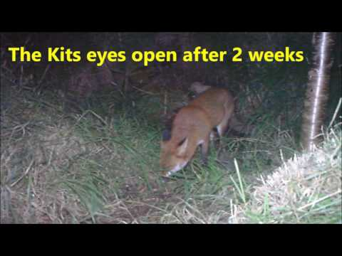 Foxy Facts   Somerset