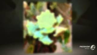 Dorstenia - garden plants