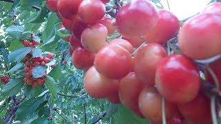 Тонкости выращивания черешень