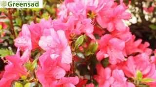 Азалия японская 'Marushka' - видео-обзор от Greensad(красивоцветущий кустарник. Цветущая азалия вся покрывается яркими цветами буквально с низу до верху,..., 2013-06-29T14:15:20.000Z)
