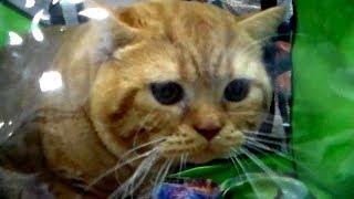 🐱 ОГРОМНЫЙ Рыжий Кот 👍 Британская Порода | ПОРОДЫ КОШЕК
